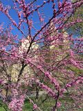 Cherry Blossoms. Cherry blossom in Central Park stock image