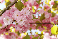 Cherry blossoms Stock Images