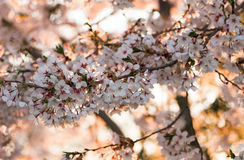 Cherry Blossoms. Cherry blossom flowers or Sakura in full bloom in the spring Royalty Free Stock Photo