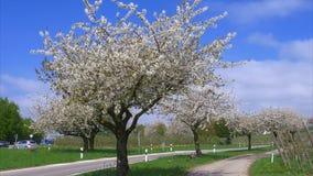 Cherry Blossoms clips vidéos