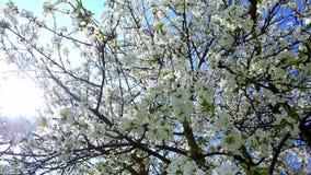 Cherry Blossoms banque de vidéos