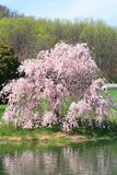 Cherry Blossoms. A cherry blossom tree in the heart of the Shenandoah Mountains Royalty Free Stock Image