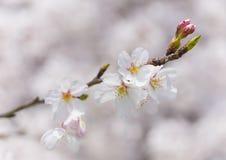 Cherry blossoms.  called a Someiyoshino cherry tree Royalty Free Stock Image