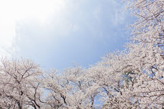 Cherry blossoms.  called a Someiyoshino cherry tree Stock Images