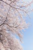 Cherry blossoms.  called a Someiyoshino cherry tree Stock Image