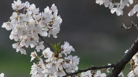 Cherry blossoms blowing in the wind. Closeup of beautiful wild cherry blossoms blowing in the wind with a soft blurred background stock video footage
