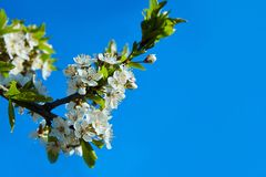 Cherry blossoms on a blue background. stock image