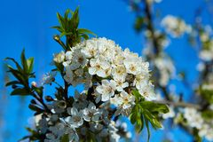 Cherry blossoms on a blue background. royalty free stock image
