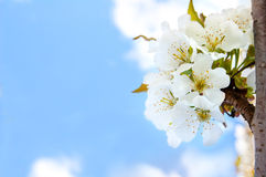 Cherry blossoms on the blue background Stock Photo