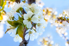 Cherry blossoms on the blue background Royalty Free Stock Image