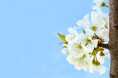 Cherry blossoms on the blue background Royalty Free Stock Photos