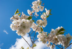 Cherry blossoms on blue skies Stock Photography