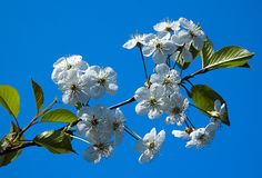 Cherry blossoms against the blue sky Royalty Free Stock Photos