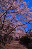 Cherry blossoms of blue sky in Fuji Omuro Sengen Shrine of Lake Kawaguchi stock image