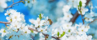 Honey bee flying to the White blooming flowers Stock Photos