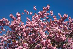 Cherry blossoms and blue sky royalty free stock image