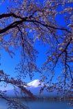 Cherry blossoms in blue sky and Mt. Fuji from Lake Kawaguchi Japan Stock Photo