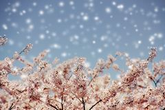 Cherry blossoms and blue sky with snow fall. Royalty Free Stock Image