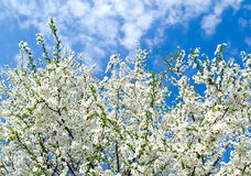 Cherry blossoms and blue sky Royalty Free Stock Photography