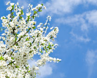 Cherry blossoms and blue sky Royalty Free Stock Photos