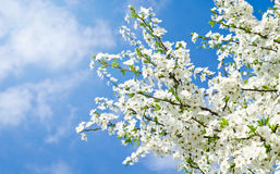 Cherry blossoms and blue sky Stock Photo