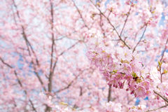 Cherry blossoms and blur Royalty Free Stock Photo