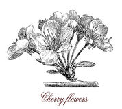 Cherry blossoms, botanical vintage engraving. Cherry blossoms are the flowers of several trees of the kind Prunus, particularly the Japanese cherry called sakura vector illustration