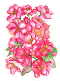 Cherry Blossoms Bouquet Watercolor Royalty Free Stock Photo