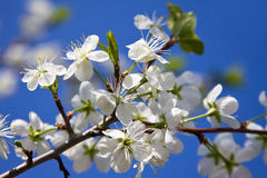 Cherry blossoms branch. The branch of blossoming cherry trees against the blue sky Royalty Free Stock Photography