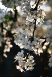 Cherry blossoms on branch Royalty Free Stock Photography
