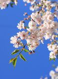 Cherry blossoms. Branch of blooming white cherry on blue sky background Royalty Free Stock Images