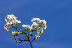 Cherry blossoms on a branch, on a blue sky.  Royalty Free Stock Photos