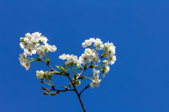 Cherry blossoms on a branch, on a blue sky background.  Stock Images