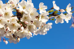 Cherry blossoms branch at close up on a blue sky background. Stock Photography