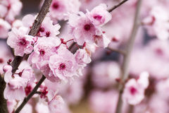 Cherry blossoms on branch Stock Photos