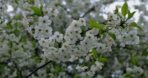 Cherry blossoms. A branch of a flowering tree.  stock images