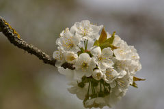 Cherry blossoms on branch Stock Images