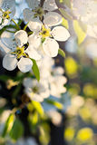 Cherry blossoms. On a branch in a garden in the sunshine Royalty Free Stock Photography
