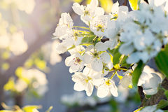 Cherry blossoms. On a branch in a garden in the sunshine Royalty Free Stock Images