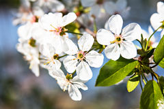 Cherry blossoms on a branch Royalty Free Stock Photography