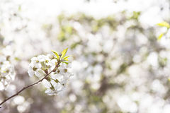 Cherry blossoms on a branch in the sunshine Royalty Free Stock Photo