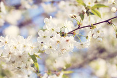 Cherry blossoms on a branch Royalty Free Stock Image