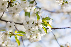 Cherry blossoms on a branch Stock Photography