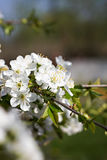 Cherry blossoms on a branch Royalty Free Stock Images