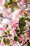 Cherry blossoms on a branch Royalty Free Stock Photo