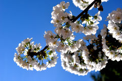 Cherry blossoms branch Stock Images