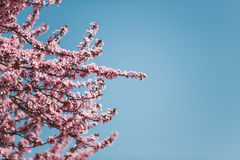 Cherry blossoms on branches stock photo