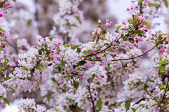 Cherry Blossoms. Branches of cherry blossom tree Stock Photos