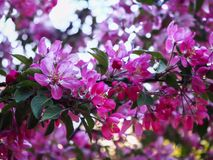 Cherry blossoms branches close view stock photo