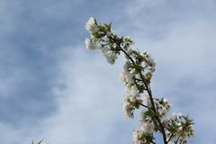 Cherry blossoms on branches at spring. Flowers of the cherry blossoms on branches at spring against blue sky Stock Images